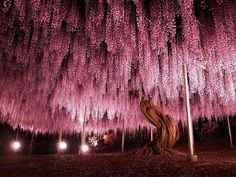 This 144 years old Wisteria Tree is located in Japan, its size is about half an acre and it is the biggest of its kind.