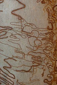Scribbly Gum Tree Bark (Eucalyptus  sclerophylla)