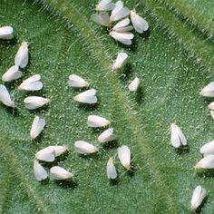 How To Get Rid Of Whiteflies On Your Marijuana Plants