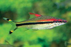 10 Big, Beautiful Barbs for Larger Aquariums (Full Article)   Details   Articles   TFH Magazine®