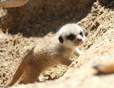 Tiny meerkat.