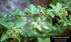 Viburnum nudum - POSSUMHAW - ADOXACEAE