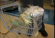Coolest pic of the green iguana.