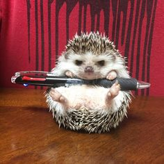 We provide Thousands of cute animal pictures, gifs, videos on demand! Baby Animals Super Cute, Cute Little Animals, Cute Funny Animals, Cute Dogs, Cutest Animals, Baby Animals Pictures, Cute Animal Photos, Funny Animal Pictures, Hedgehog Pet