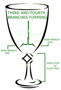 Pruning a plum tree to the shape of a goblet