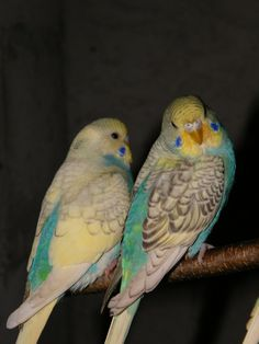 2 Skyblue Yellow Face Spangles, the one on the left is also a Dominant Pied.