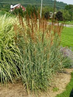 'Souix Blue' Indian Grass (Sorghastrum nutans) Blue-gray foliage; burnt orange in fall; copper-brown seed heads, 5-6' tall; holds wet all winter