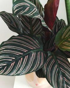 Calathea Ornata Plant Care Tips — Ashley Hosmer - Modern Design Cactus House Plants, House Plants Decor, Cactus Decor, Cactus Art, Prayer Plant Care, Natura Plant, Calathea Plant, Endangered Plants, Rainforest Plants
