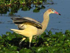 Whistling Heron (Syrigma sibilatrix) by Gustavo Duran.