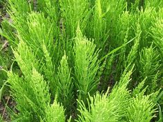 Horsetail is also known as Swamp Horsetail. This is a perennial grass. The Horsetail grass will grow well in wet conditions. Snake In The Grass, Herbaceous Perennials, Permaculture, Planting Flowers, Herbs, Plants, Horsetail, Medicinal Plants, Perennial Plants
