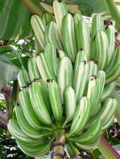 BANANA LISTRADA, AE AE BANANA ( Musa a'e a'e) Fruit And Veg, Fruits And Vegetables, Bananas, Fruit World, Fruits Drawing, Weird Plants, Banana Plants, Variegated Plants, Beautiful Fruits