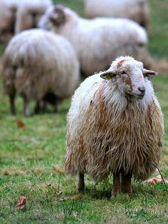 A stately Latxa sheep from the Basque region of Spain - love the soft waves of wool. I wonder how this spins up? Alpacas, Barnyard Animals, Cute Animals, Wild Animals, Beautiful Creatures, Animals Beautiful, Wooly Bully, Baa Baa Black Sheep, Le Zoo