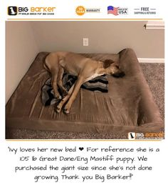 """Customer photo. To get this bed, https://bigbarker.com  """"Ivy loves her new bed ❤ For reference she is a 105 lb Great Dane/Eng Mastiff puppy. We purchased the giant size since she's not done growing. Thank you Big Barker!!""""  #englishmastiff #greatdane #americanmadedogbeds #dogbedlargebreed #dogbedlivingroom #dogbedluxury"""