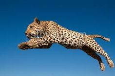 african leopards - Google Search