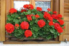 Így triplázd meg a muskátlid virágzását! - Tudasfaja.com Geraniums, Patio, Flowers, Plants, Outdoor, Google, Gardening, Garden Ideas, Paisajes