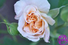 Blüte | www.FeenArt.de | Claudia Böttcher | DSC_4660FAFGk