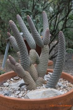 Opuntia violacea macrocentra (Tuxedo Spine Prickly Pear) | Zona Gardens