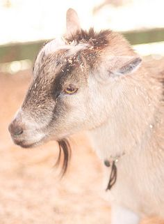Cross a Pygmy buck with a Nubian doe, and you'll get the best breed in the world: a Kinder goat!