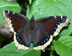 mourning cloak - possibly the longest living butterfly species months, they hibernate overwinter and really enjoy oak sap // saw one in my backyard today :) Beautiful Bugs, Beautiful Butterflies, Amazing Nature, Gossamer Wings, Flying Flowers, Largest Butterfly, Butterfly Wallpaper, Chenille, Butterfly Wings