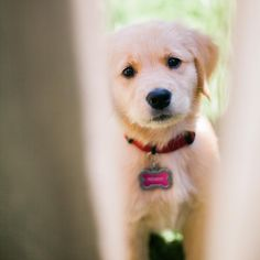 Peek-a-boo! A sweet, adorable golden retriever puppy peeks from behind a fence. What a cutie!! #penny9weeks