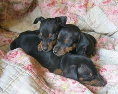 Min Pin puppies