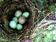 robin eggs in nest, blue, bird nest
