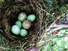 robin eggs in nest, blue, bird nest
