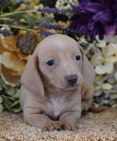 Dachshunds Puppies For Sale | Down Home Dachshunds | (601) 590-2039 Dachshund Puppies For Sale, Baby Dachshund, Dogs And Puppies, Doggies, Dachshund Breeders, Cute Baby Animals, Beautiful Creatures, Puppy Love, Cute Dogs