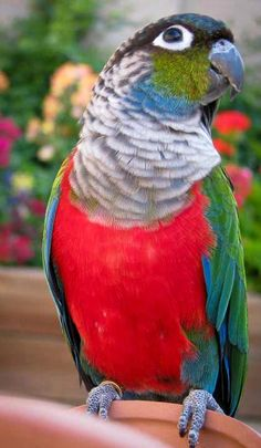 The crimson-bellied parakeet (Pyrrhura perlata), more commonly known as the crimson-bellied conure in aviculture, is a species of parrot in the Psittacidae family.
