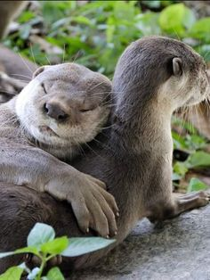 Otter - Fact, Pictures and Information The otter is a small mammal creature that lives both in water and land. There are 13 known types of otter that possess regions all around the globe. Otters Cute, Baby Otters, Otters Funny, Baby Sloth, Cute Funny Animals, Cute Baby Animals, Nature Animals, Animals And Pets, Otter Facts