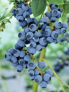 Blueberries~~~~~Nothing sweeter than finding small wild blueberries in the woods..