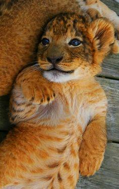 Lion cub by Ashley Hockenberry