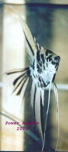 Angel fish types - Guide to help identify Marble