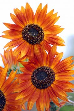 these will some purple filler flowers and wild flowers or thistle wud make an amazing rustic bouquet- these are also sunflowers kim @Kimberly Harvey they come in so many cool rich colors. (im not saying im in love with sunflowers but just showing u an idea thats out there these days with new style bouquets) :)