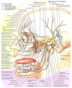 trigeminal nerve | Trigeminal Nerve-Schema