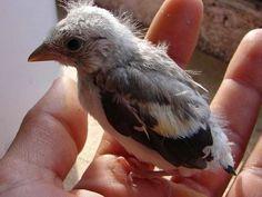 الحسون اللبناني في خطر... تستبيحه مافيات تجارة الطيور