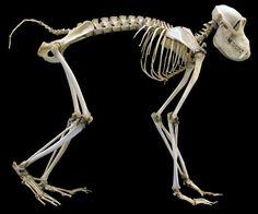 Muséum d'Histoire naturelle de Nantes - squelette de Babouin hamadryas -cynocephalus hamadryas skeleton // anatomy // anatomie // bones // monkey