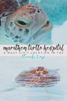 The Turtle Hospital: A Must-Visit Location in the Florida Keys - Hello Nature-The Marathon Turtle Hospital is a must-visit location in the Florida Keys! Tour their facility to meet/feed turtles and learn how to help them in the wild! Florida Vacation, Florida Travel, Florida Beaches, Vacation Trips, Travel Usa, Florida 2017, Vacation Ideas, Florida Keys Honeymoon, Florida Trips