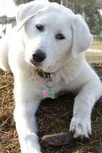 Akbash Dogs are calm & gentle by nature, with strong guarding & protective instincts... and extremely FLUFFY!