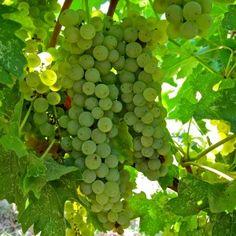 Faberrebe (Pinot Blanc x Muller-Thurgau) in Mokelumne Glen Vineyards, Lodi AVA. Photography by Randy Caparoso. #Lodi #wine #grapes
