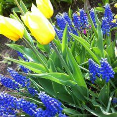 Wiosenne kwiaty w przydomowym ogrodzie.  Spring flowers.