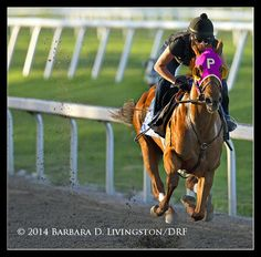 Groupie Doll working out in preparation for her last start, 2/9/14 at Gulfstream Park. Photo by Barbara Livingston