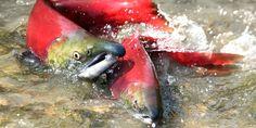 World's Biggest Sockeye Run Shut Down as Wild Pacific Salmon Fight for Survival