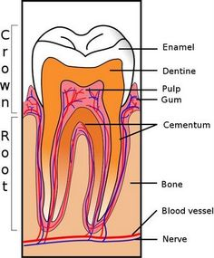 Super article on Dental Health and diet and supplements to keep teeth strong. - Oral Health Care For Good Teeth - Dental Teeth Health, Healthy Teeth, Dental Health, Oral Health, Stay Healthy, Health Care, Dental Assistant, Dental Hygiene, Dental Care