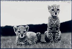 orphaned cheetahs    photo by Peter Beard,The End of the Game series, Mweiga National Park, Kenya 1968