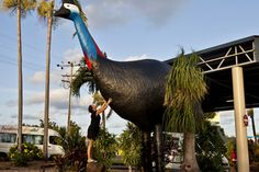 The Big Cassowary at Mission Beach is a tribute to the endangered bird that can be found in the gorgeous World Heritage Rainforest in the area. The Big Cassowary can be found at Wongaling Beach as part of the Shopping Complex and stands high! Australia Capital, Aussie Australia, Australia Funny, Queensland Australia, Western Australia, Australia Travel, Visit Australia, Attraction World, Tropic Of Capricorn