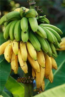 Add tropical banana trees to your landscape, no matter where you live! Just pot up your Dwarf Cavendish Banana Trees for easy growth. Banana Tree For Sale, Fruit Trees, Trees To Plant, Banane Plantain, Fast Growing Trees, Banana Plants, Nutrition, Organic Fertilizer, Vegetables