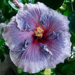 Exotic Hibiscus 'Ice Storm'