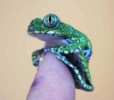 Ignore the dirty thumb and just look at the beautiful Peacock Tree Frog (Leptopelis vermiculatus)
