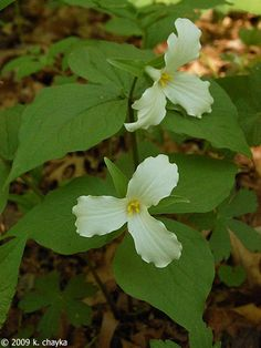 Trillium grandiflorum (Large-flowered Trillium): Minnesota Wildflowers.  Also known as: White Trillium, Snow Trillium, White Wake Robin.  Native, perennial.  Part shade, shade; rich woods.  Blooms May - June, 8 to 18 inches high.